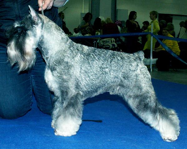 female puppy of miniature schnauzer p/s King2